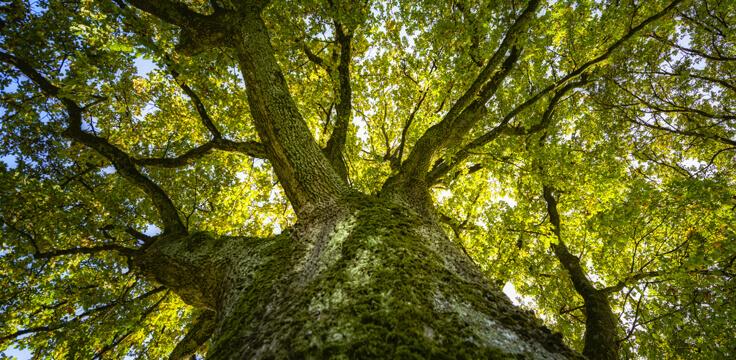 grande albero visto dal basso